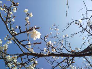 桜の花と青空