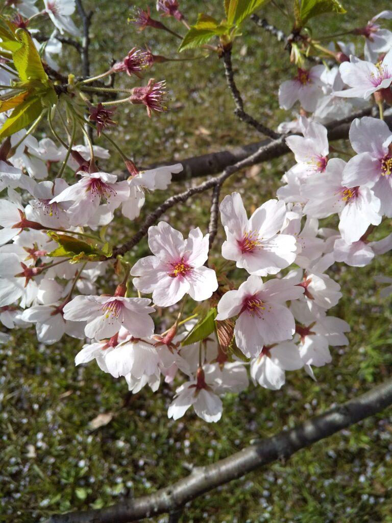 見下ろした桜